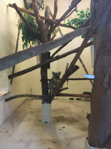 Old school enclosure at the Palm Beach Zoo. The Koalas are kept in a small exhibit, behind glass. People can't get in, but it's not much fun for them.